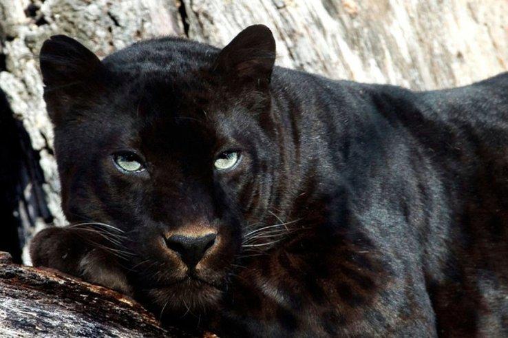 659272__black-panther_p